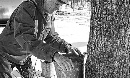 Cold weather hampering maple sap