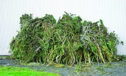 Deputies find 420 pounds of marijuana plants in region